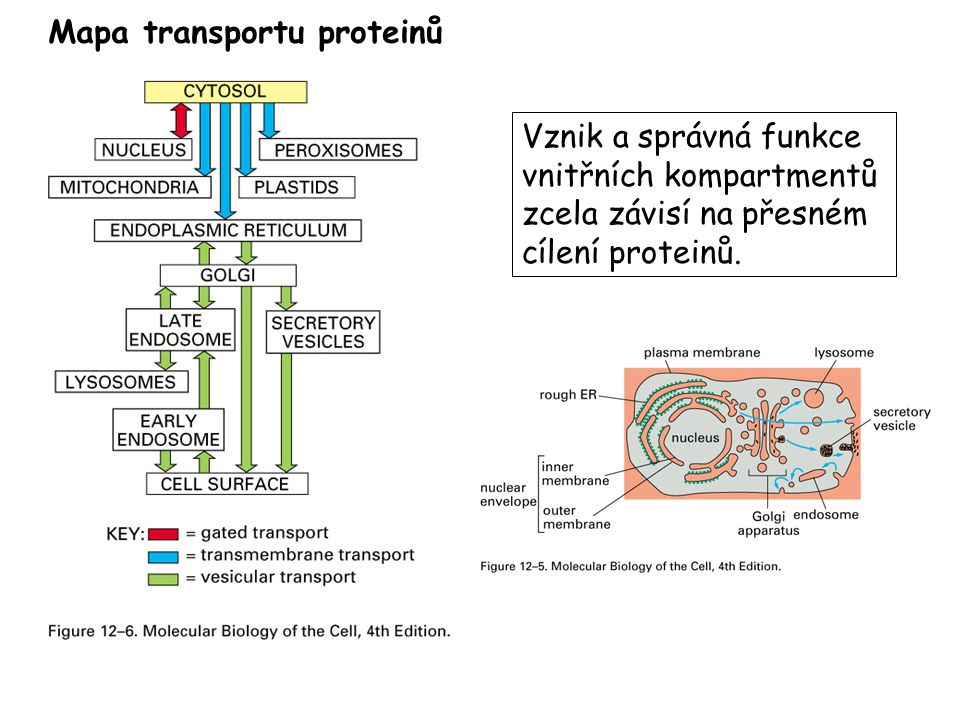 Mapa transportu proteinů Vznik a správná funkce vnitřních kompartmentů zcela závisí na přesném cílení proteinů.