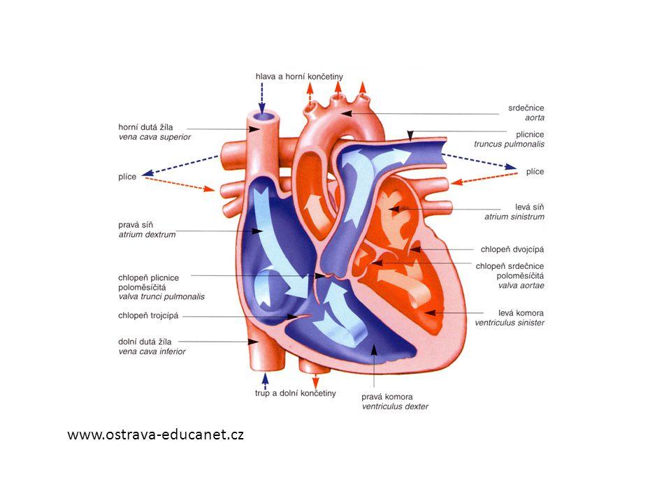 Činnost srdce • U zdravého člověka průměrně 68 – 72 stahů za minutu, jedním stahem vypudí asi 70 ml krve • Za minutu přečerpá 5 litrů krve • Probíhá střídavě smršťování (systola) a ochabování (diastola) a krátký odpočinek = srdeční cyklus • Smrštění – smrštění síní a komor – krev přetéká ze síní do komor a do cév • Ochabování – chlopně uzavřou vývody a krev přetéká z cév do krevního řečiště