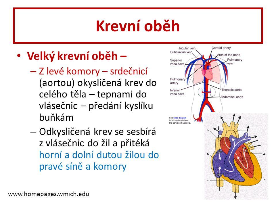 Krevní oběh • Velký krevní oběh – – Z levé komory – srdečnicí (aortou) okysličená krev do celého těla – tepnami do vlásečnic – předání kyslíku buňkám