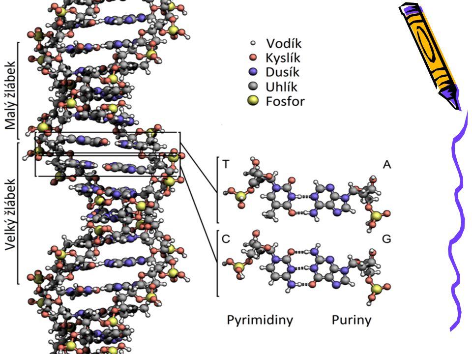 NUKLEOVÉ KYSELINY DNA (kyselina deoxyribonukleová - acid) -každý její úsek kóduje určitou genetickou informaci (barva očí, krevní skupina, výška) >>> GEN = soubor genů (kompletní genetický kód) -v jádru buněk v chromozómech -replikace = zdvojení při dělení (žebřík)