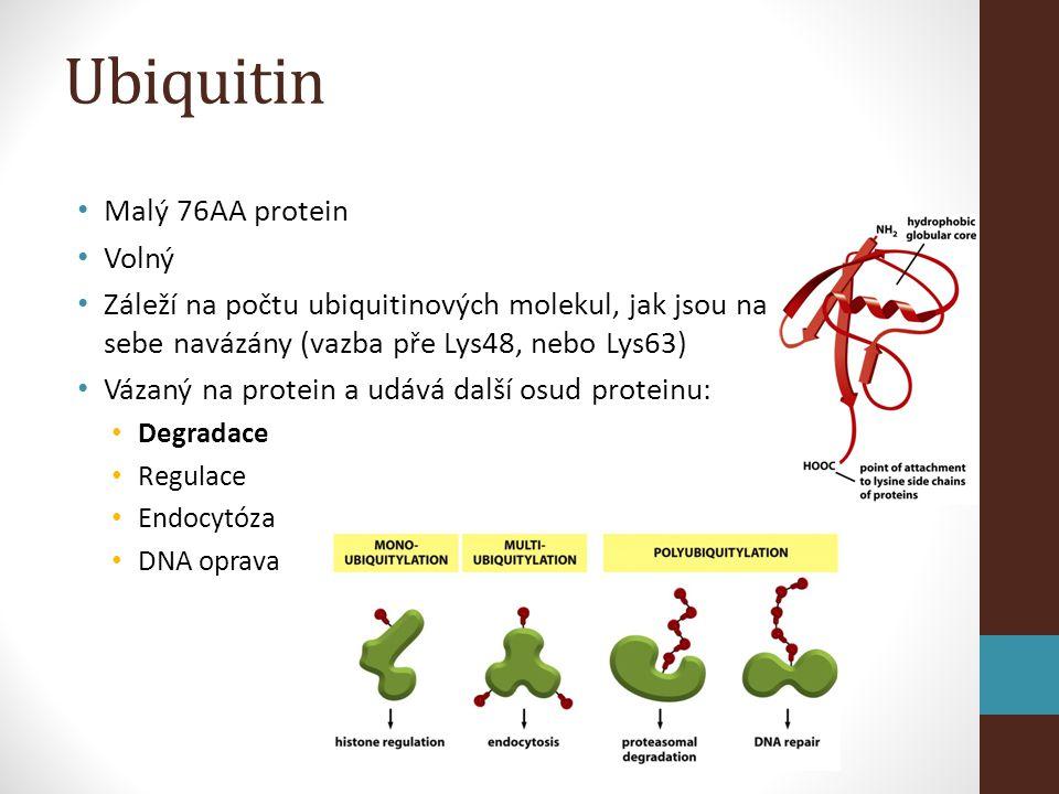Ubiquitin • Malý 76AA protein • Volný • Záleží na počtu ubiquitinových molekul, jak jsou na sebe navázány (vazba pře Lys48, nebo Lys63) • Vázaný na protein a udává další osud proteinu: • Degradace • Regulace • Endocytóza • DNA oprava
