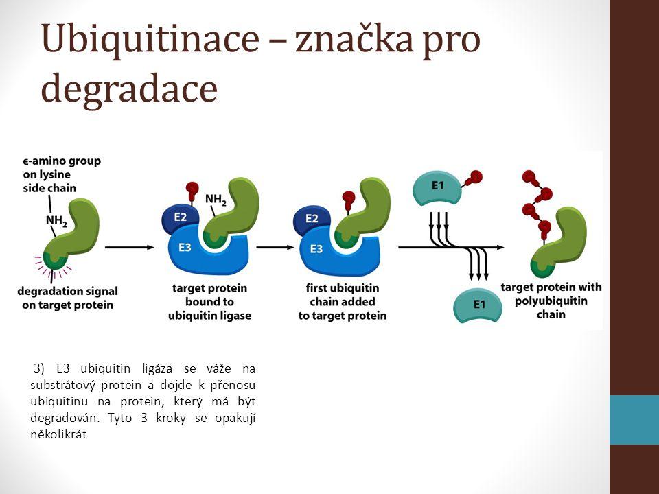 Ubiquitinace – značka pro degradace 3) E3 ubiquitin ligáza se váže na substrátový protein a dojde k přenosu ubiquitinu na protein, který má být degradován.