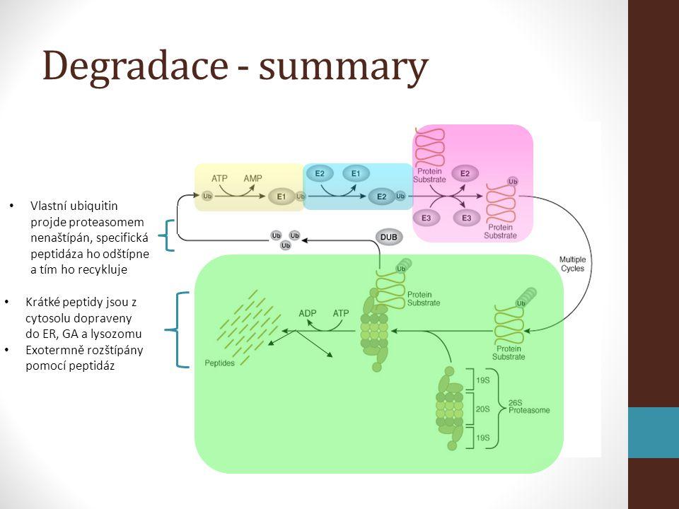 Degradace - summary • Krátké peptidy jsou z cytosolu dopraveny do ER, GA a lysozomu • Exotermně rozštípány pomocí peptidáz • Vlastní ubiquitin projde proteasomem nenaštípán, specifická peptidáza ho odštípne a tím ho recykluje