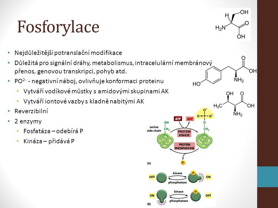 Fosforylace • Nejdůležitější potranslační modifikace • Důležitá pro signální dráhy, metabolismus, intracelulární membránový přenos, genovou transkripci, pohyb atd.