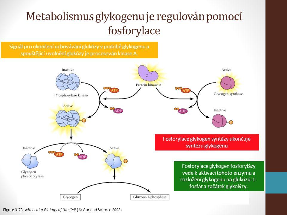 Figure 3-73 Molecular Biology of the Cell (© Garland Science 2008) Signál pro ukončení uchovávání glukózy v podobě glykogenu a spouštějící uvolnění glukózy je procesován kinase A.