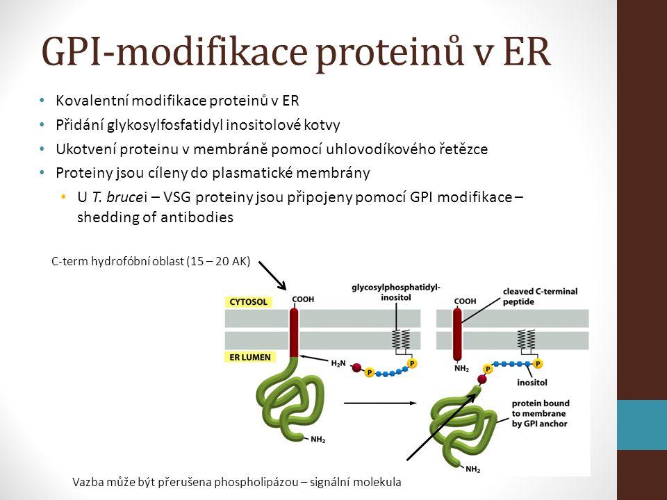 GPI-modifikace proteinů v ER • Kovalentní modifikace proteinů v ER • Přidání glykosylfosfatidyl inositolové kotvy • Ukotvení proteinu v membráně pomocí uhlovodíkového řetězce • Proteiny jsou cíleny do plasmatické membrány • U T.