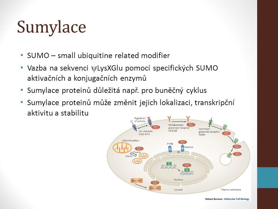 Sumylace • SUMO – small ubiquitine related modifier • Vazba na sekvenci  LysXGlu pomocí specifických SUMO aktivačních a konjugačních enzymů • Sumylace proteinů důležitá např.
