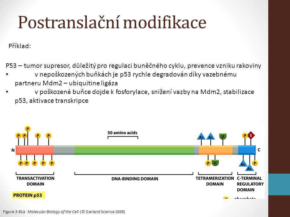 Figure 3-81a Molecular Biology of the Cell (© Garland Science 2008) Postranslační modifikace P53 – tumor supresor, důležitý pro regulaci buněčného cyklu, prevence vzniku rakoviny • v nepoškozených buňkách je p53 rychle degradován díky vazebnému partneru Mdm2 – ubiquitine ligáza • v poškozené buňce dojde k fosforylace, snižení vazby na Mdm2, stabilizace p53, aktivace transkripce Příklad:
