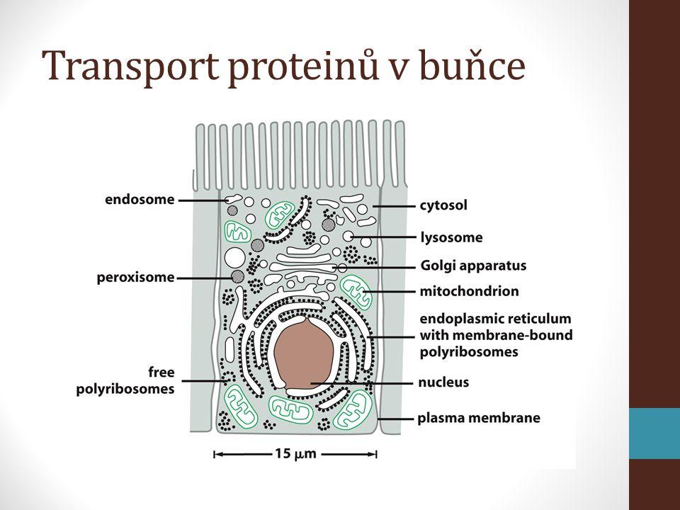 Transport proteinů v buňce