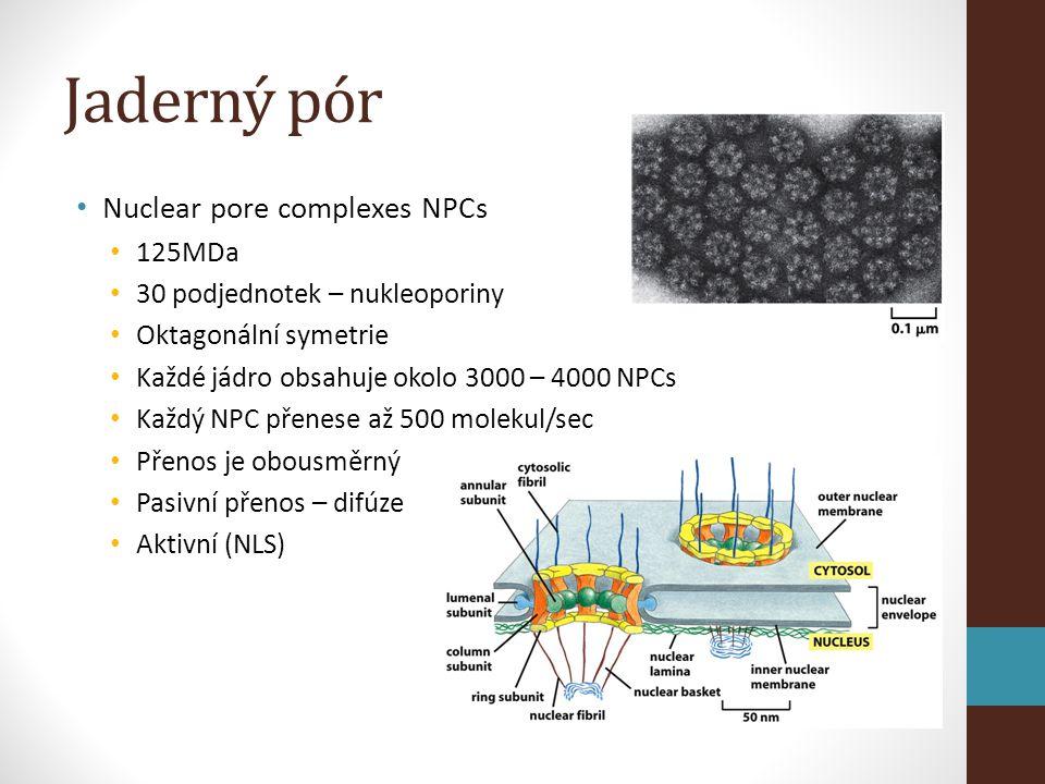 Jaderný pór • Nuclear pore complexes NPCs • 125MDa • 30 podjednotek – nukleoporiny • Oktagonální symetrie • Každé jádro obsahuje okolo 3000 – 4000 NPCs • Každý NPC přenese až 500 molekul/sec • Přenos je obousměrný • Pasivní přenos – difúze • Aktivní (NLS)