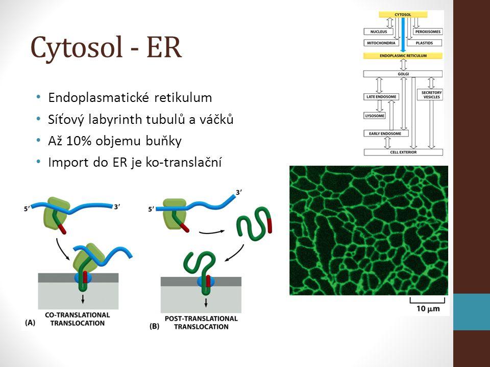 Cytosol - ER • Endoplasmatické retikulum • Síťový labyrinth tubulů a váčků • Až 10% objemu buňky • Import do ER je ko-translační