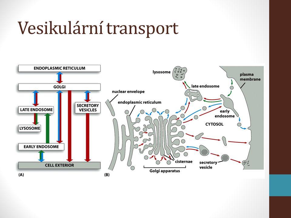 Vesikulární transport