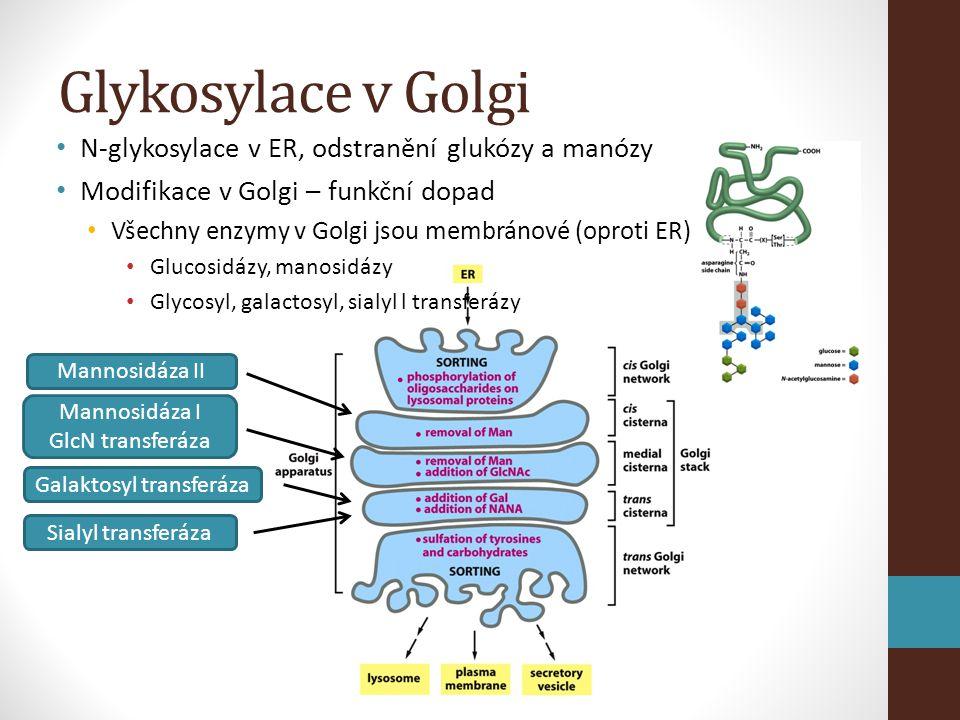 Glykosylace v Golgi • N-glykosylace v ER, odstranění glukózy a manózy • Modifikace v Golgi – funkční dopad • Všechny enzymy v Golgi jsou membránové (oproti ER) • Glucosidázy, manosidázy • Glycosyl, galactosyl, sialyl l transferázy Sialyl transferáza Galaktosyl transferáza Mannosidáza II Mannosidáza I GlcN transferáza