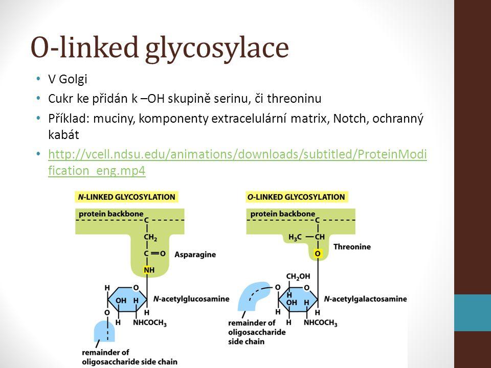 O-linked glycosylace • V Golgi • Cukr ke přidán k –OH skupině serinu, či threoninu • Příklad: muciny, komponenty extracelulární matrix, Notch, ochranný kabát • http://vcell.ndsu.edu/animations/downloads/subtitled/ProteinModi fication_eng.mp4 http://vcell.ndsu.edu/animations/downloads/subtitled/ProteinModi fication_eng.mp4