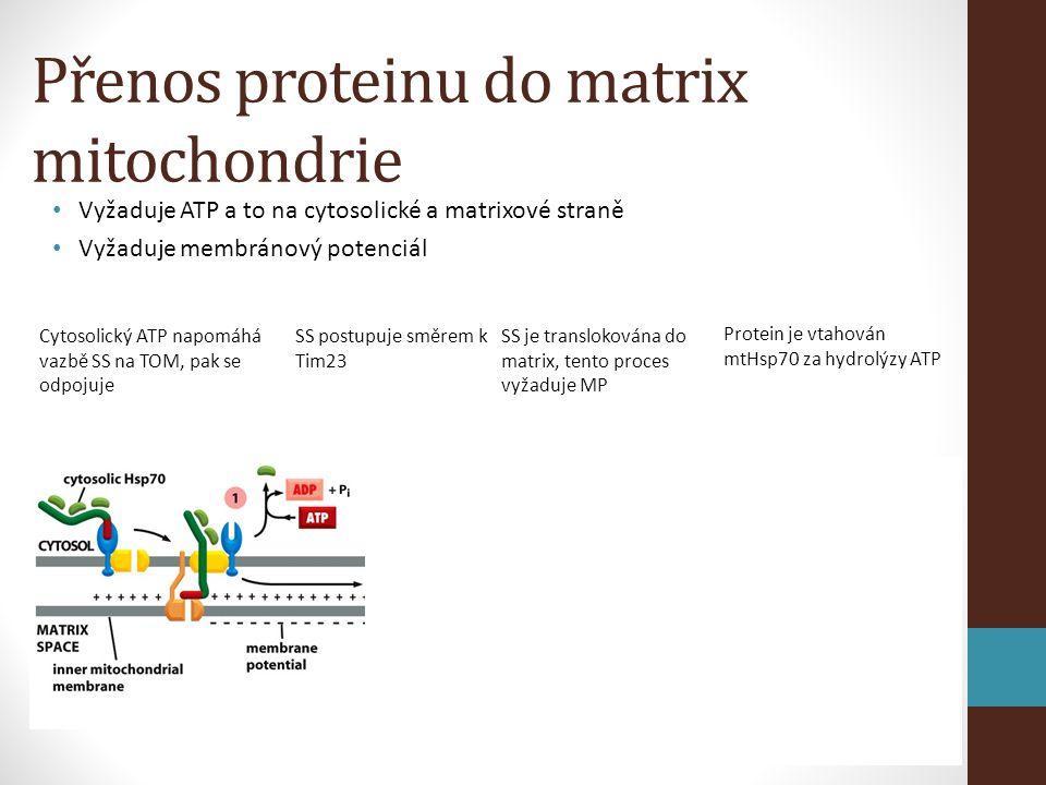 Přenos proteinu do matrix mitochondrie • Vyžaduje ATP a to na cytosolické a matrixové straně • Vyžaduje membránový potenciál Cytosolický ATP napomáhá vazbě SS na TOM, pak se odpojuje SS postupuje směrem k Tim23 SS je translokována do matrix, tento proces vyžaduje MP Protein je vtahován mtHsp70 za hydrolýzy ATP