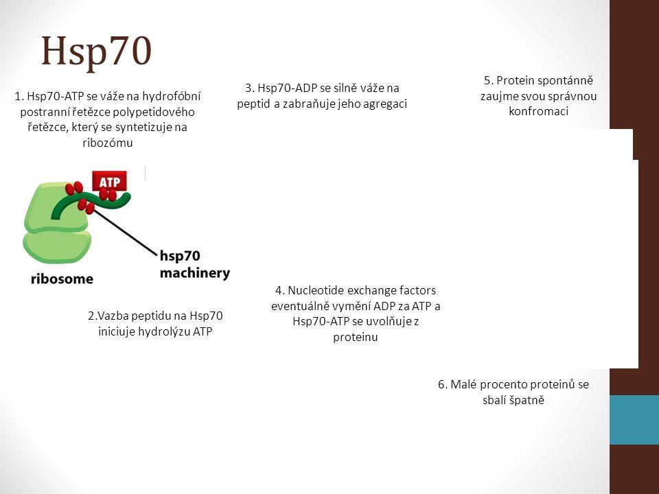 1. Hsp70-ATP se váže na hydrofóbní postranní řetězce polypetidového řetězce, který se syntetizuje na ribozómu 2.Vazba peptidu na Hsp70 iniciuje hydrol