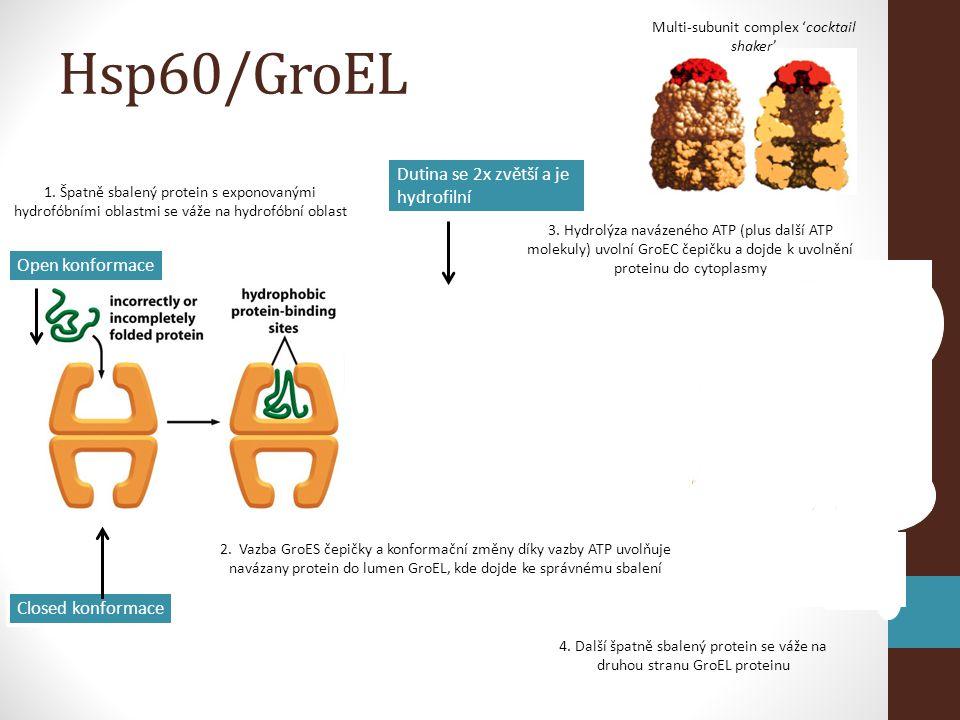 1. Špatně sbalený protein s exponovanými hydrofóbními oblastmi se váže na hydrofóbní oblast Multi-subunit complex 'cocktail shaker' 2. Vazba GroES čep