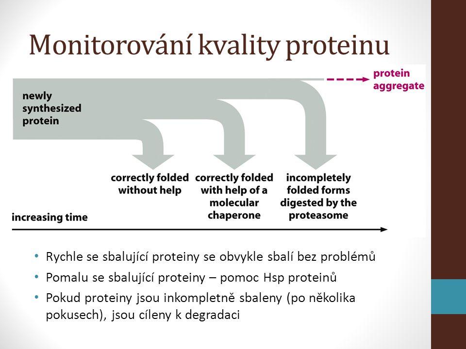 Monitorování kvality proteinu • Rychle se sbalující proteiny se obvykle sbalí bez problémů • Pomalu se sbalující proteiny – pomoc Hsp proteinů • Pokud proteiny jsou inkompletně sbaleny (po několika pokusech), jsou cíleny k degradaci