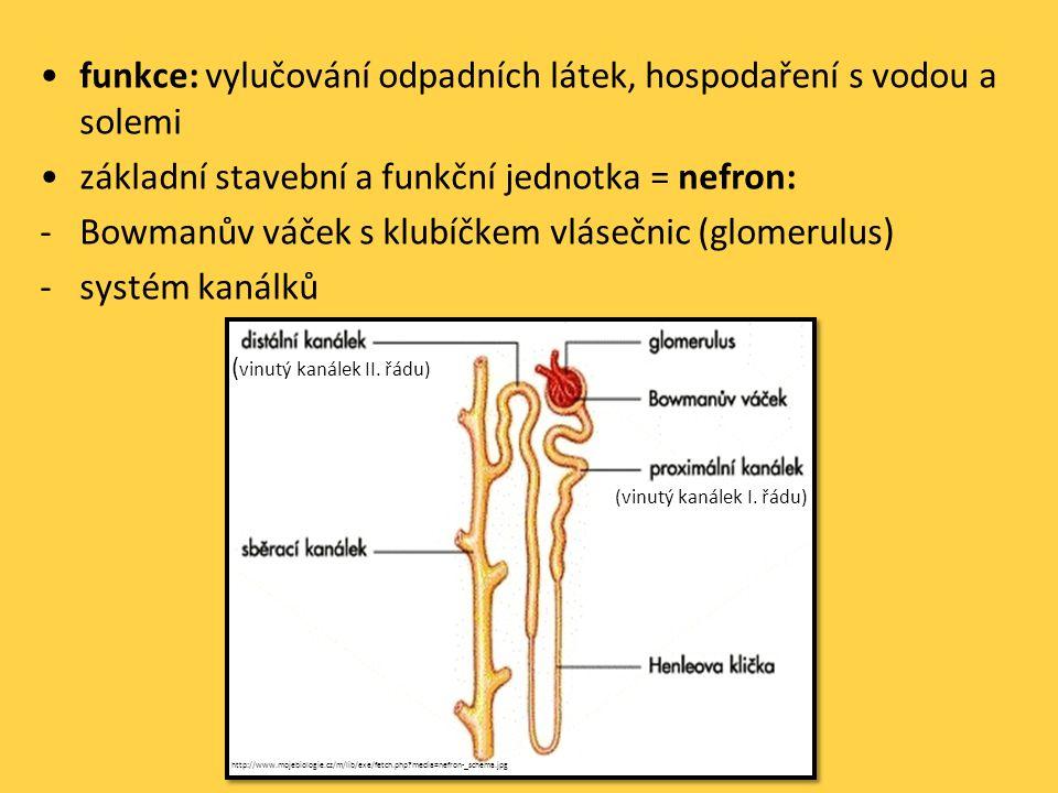 •funkce: vylučování odpadních látek, hospodaření s vodou a solemi •základní stavební a funkční jednotka = nefron: -Bowmanův váček s klubíčkem vlásečnic (glomerulus) -systém kanálků (vinutý kanálek I.