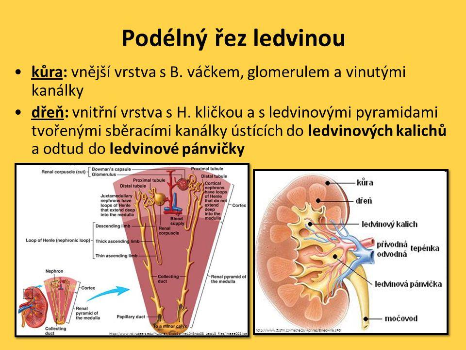 Podélný řez ledvinou •kůra: vnější vrstva s B.