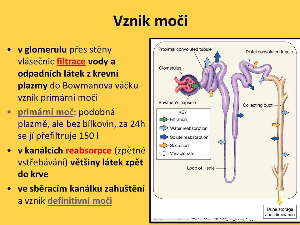 Vznik moči •v glomerulu přes stěny vlásečnic filtrace vody a odpadních látek z krevní plazmy do Bowmanova váčku - vznik primární moči •primární moč: podobná plazmě, ale bez bílkovin, za 24h se jí přefiltruje 150 l •v kanálcích reabsorpce (zpětné vstřebávání) většiny látek zpět do krve •ve sběracím kanálku zahuštění a vznik definitivní moči http://www.as.miami.edu/chemistry/2086/Chap26/Chapter%2026-NEW_part1_files/image011.jpg