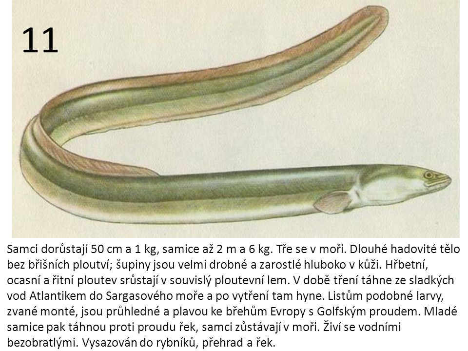 Samci dorůstají 50 cm a 1 kg, samice až 2 m a 6 kg.