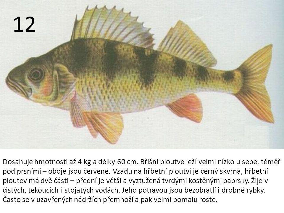 Dosahuje hmotnosti až 4 kg a délky 60 cm.