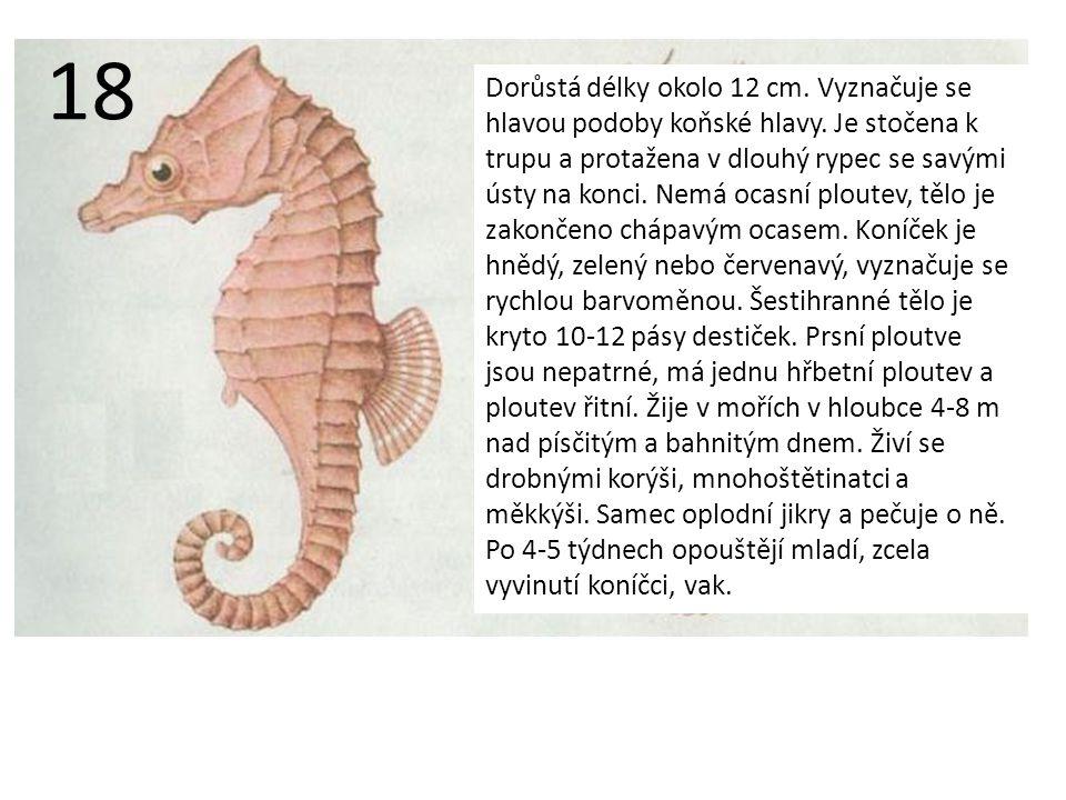 Dorůstá délky okolo 12 cm.Vyznačuje se hlavou podoby koňské hlavy.