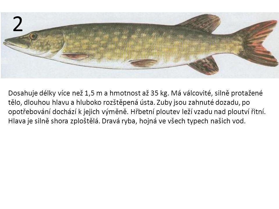 Dosahuje délky více než 1,5 m a hmotnost až 35 kg.