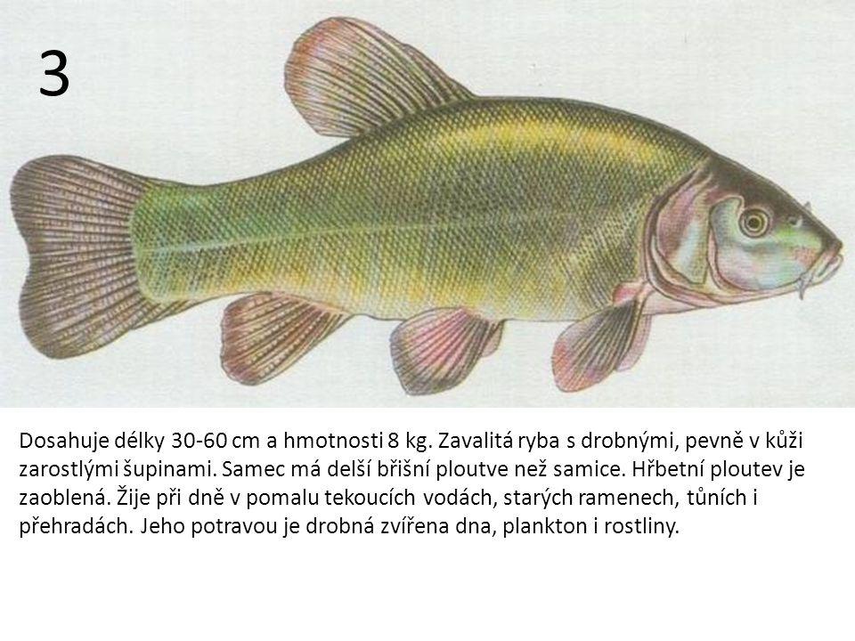 Dosahuje délky 30-60 cm a hmotnosti 8 kg.
