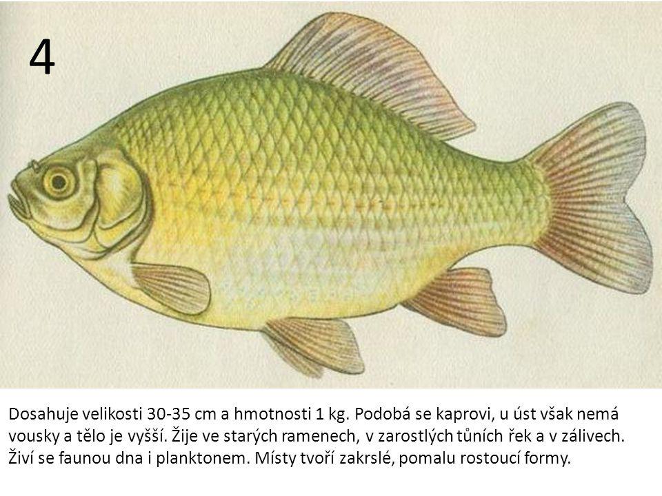 Dosahuje velikosti 30-35 cm a hmotnosti 1 kg.