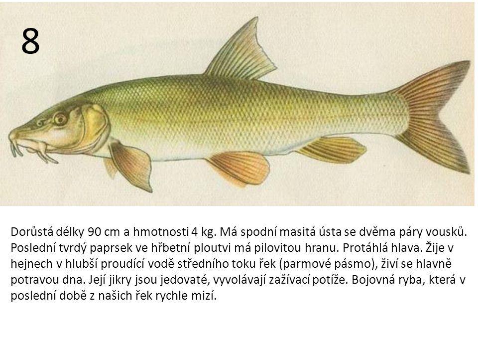 Dorůstá délky 90 cm a hmotnosti 4 kg.Má spodní masitá ústa se dvěma páry vousků.