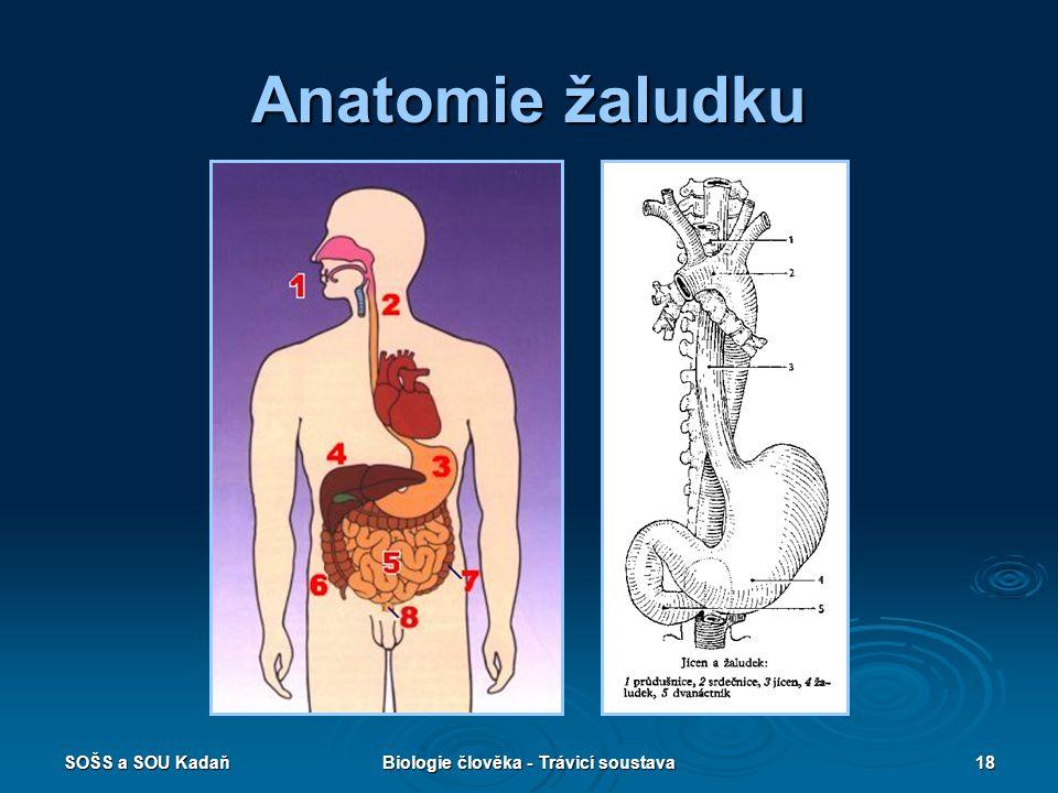 SOŠS a SOU KadaňBiologie člověka - Trávicí soustava18 Anatomie žaludku