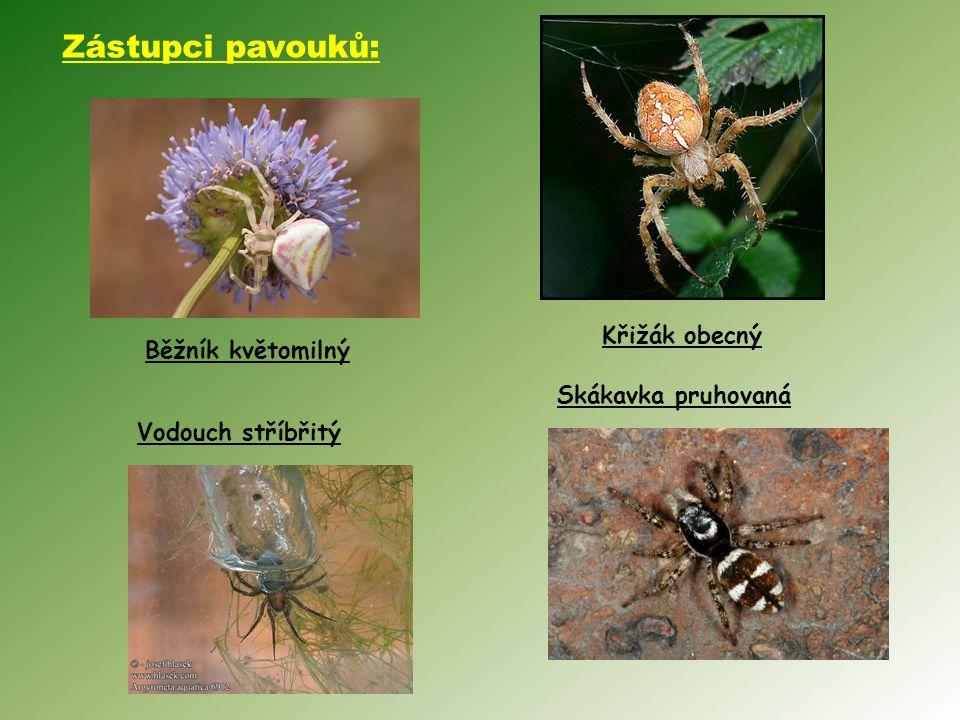 Vodouch stříbřitý Skákavka pruhovaná Křižák obecný Běžník květomilný Zástupci pavouků: