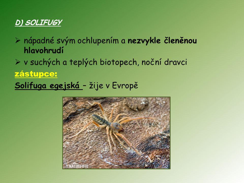 D) SOLIFUGY  nápadné svým ochlupením a nezvykle členěnou hlavohrudí  v suchých a teplých biotopech, noční dravci zástupce: Solifuga egejská – žije v Evropě