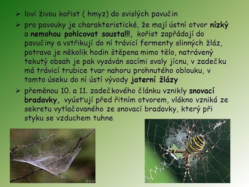  loví živou kořist ( hmyz) do svislých pavučin  pro pavouky je charakteristické, že mají ústní otvor nízký a nemohou pohlcovat sousta!!!, kořist zapřádají do pavučiny a vstřikují do ní trávicí fermenty slinných žláz, potrava je několik hodin štěpena mimo tělo, natrávený tekutý obsah je pak vysáván sacími svaly jícnu, v zadečku má trávicí trubice tvar nahoru prohnutého oblouku, v tomto úseku do ní ústí vývody jaterní žlázy  přeměnou 10.