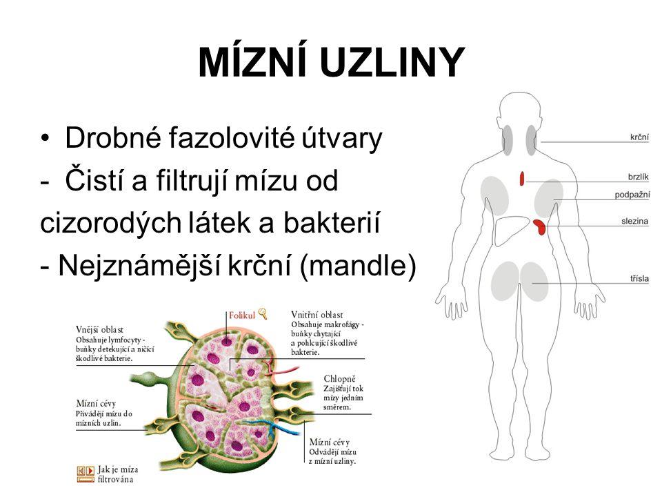 MÍZNÍ UZLINY •Drobné fazolovité útvary -Čistí a filtrují mízu od cizorodých látek a bakterií - Nejznámější krční (mandle)
