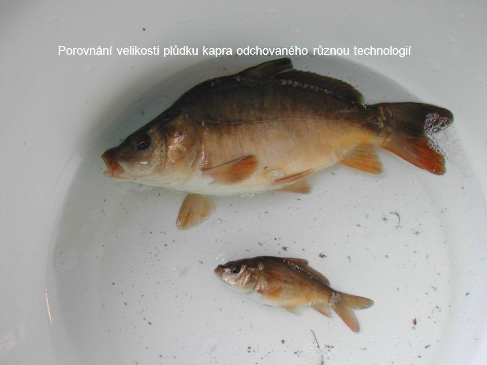 Následný odchov plůdku kapra v rybnících •Produkční výsledky po vysazení plůdku kapra rozkrmeného v podmínkách intenzivního chovu (do D12) do rybničních podmínek (Pohořelicko).