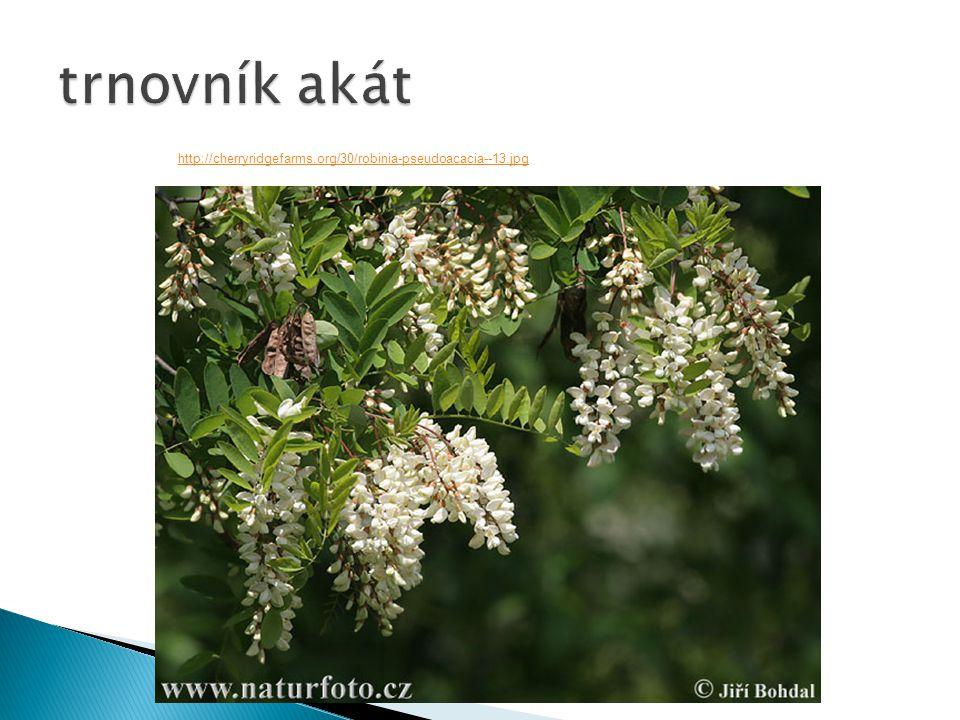 http://cherryridgefarms.org/30/robinia-pseudoacacia--13.jpg