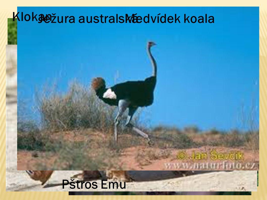 Klokan Medvídek koala Pštros Emu Ježura australská