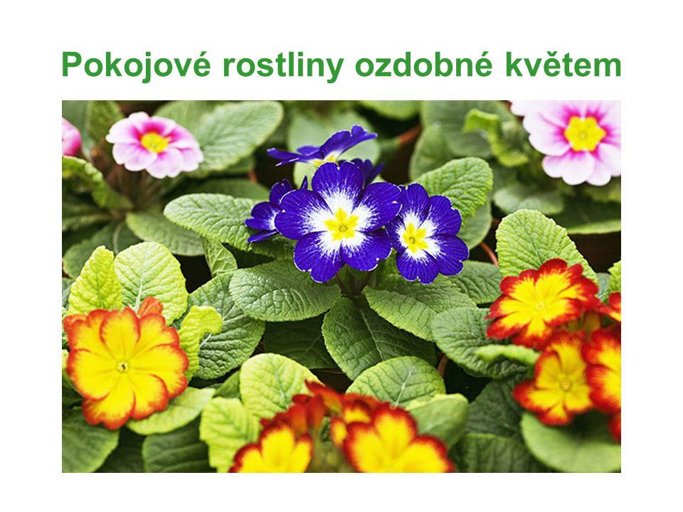 Pokojové rostliny ozdobné květem