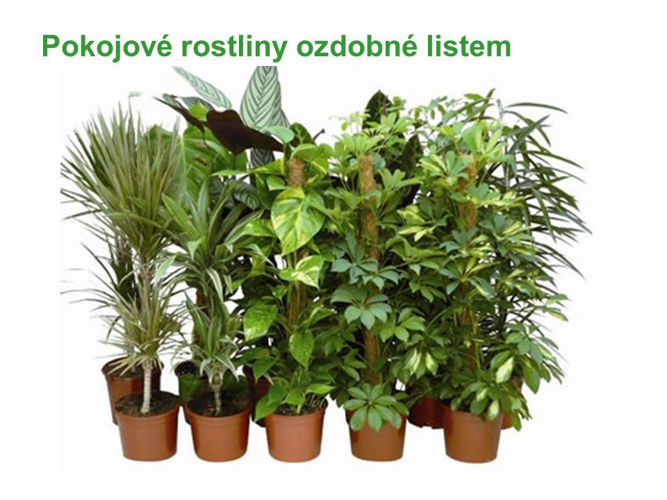 Pokojové rostliny ozdobné listem