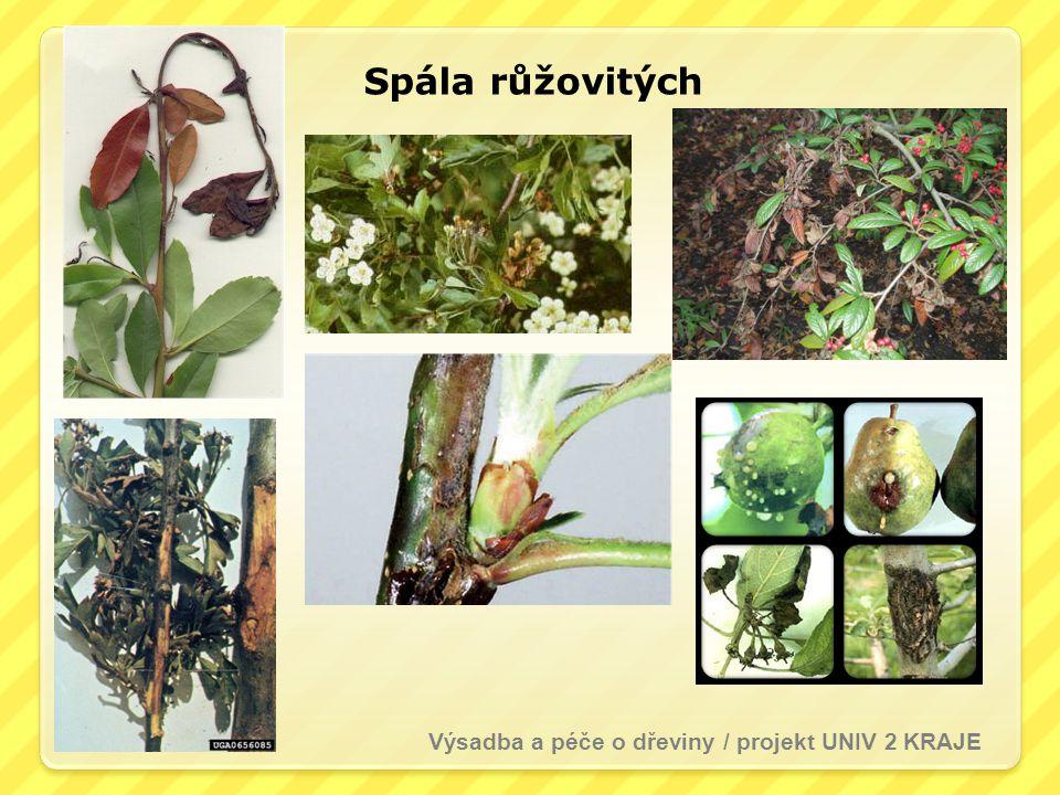 Spála růžovitých Výsadba a péče o dřeviny / projekt UNIV 2 KRAJE