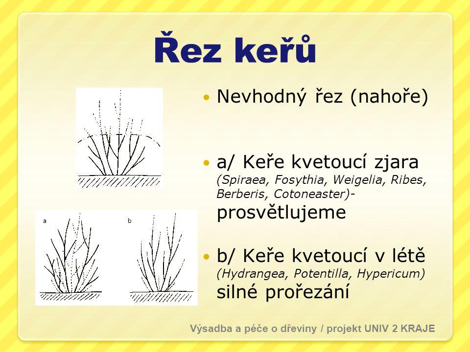Řez keřů  Nevhodný řez (nahoře)  a/ Keře kvetoucí zjara (Spiraea, Fosythia, Weigelia, Ribes, Berberis, Cotoneaster)- prosvětlujeme  b/ Keře kvetoucí v létě (Hydrangea, Potentilla, Hypericum) silné prořezání Výsadba a péče o dřeviny / projekt UNIV 2 KRAJE