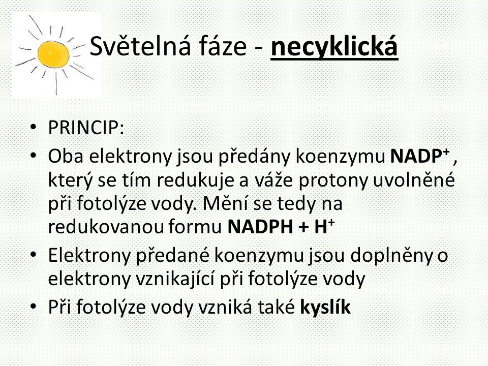 Světelná fáze - necyklická • PRINCIP: • Oba elektrony jsou předány koenzymu NADP +, který se tím redukuje a váže protony uvolněné při fotolýze vody. M