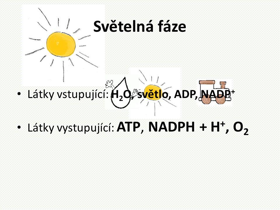 Světelná fáze • Látky vstupující: H 2 O, světlo, ADP, NADP + • Látky vystupující: ATP, NADPH + H +, O 2