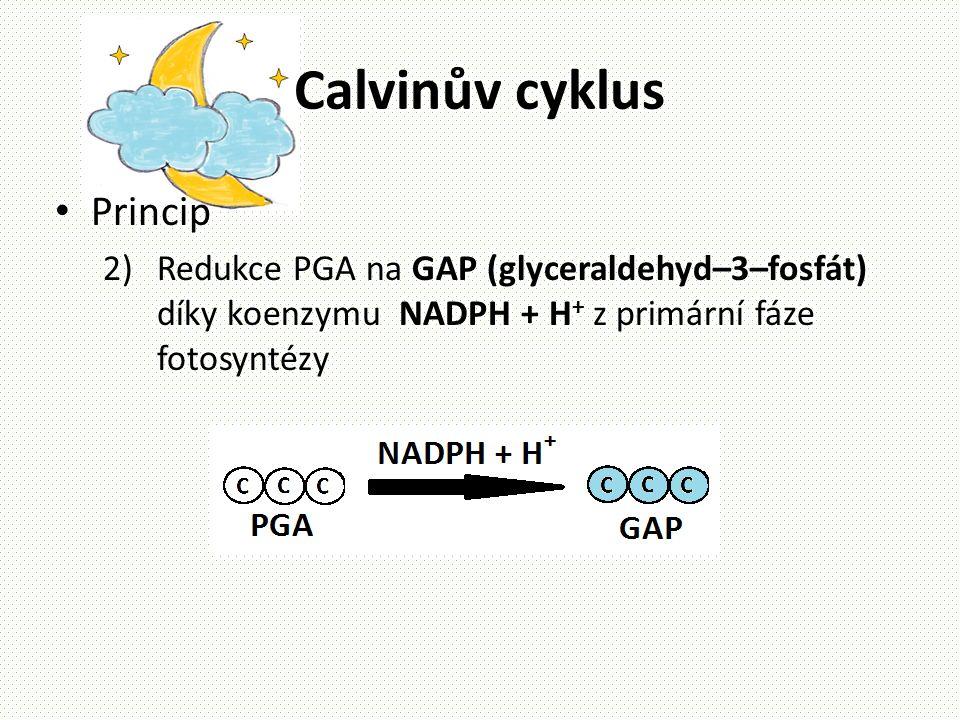 Calvinův cyklus • Princip 2)Redukce PGA na GAP (glyceraldehyd–3–fosfát) díky koenzymu NADPH + H + z primární fáze fotosyntézy