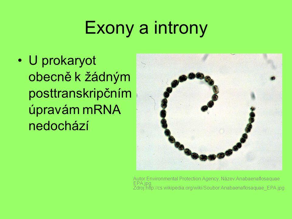 Exony a introny U prokaryot obecně k žádným posttranskripčním úpravám mRNA nedochází Autor:Environmental Protection Agency, Název:Anabaenaflosaquae EP