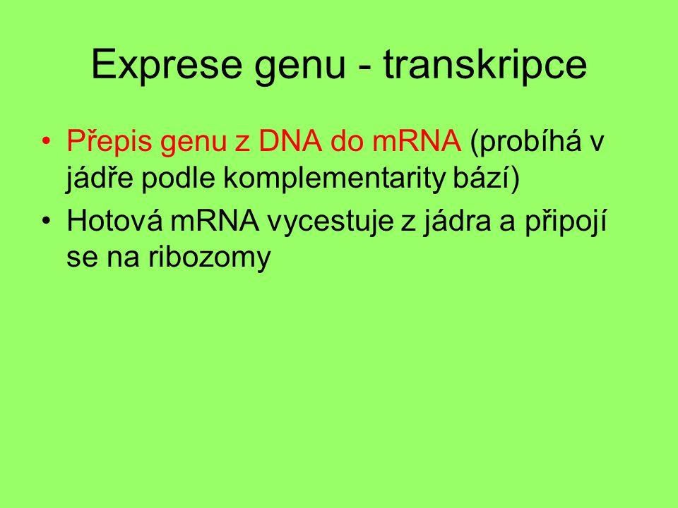Exprese genu - transkripce Přepis genu z DNA do mRNA (probíhá v jádře podle komplementarity bází) Hotová mRNA vycestuje z jádra a připojí se na ribozo