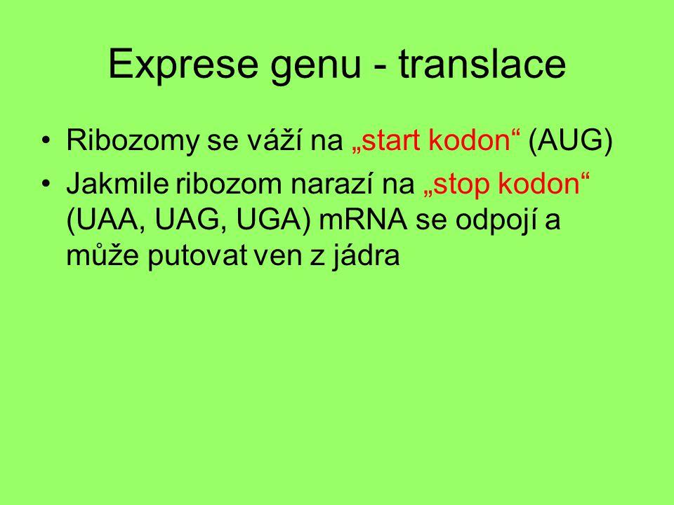 """Exprese genu - translace Ribozomy se váží na """"start kodon"""" (AUG) Jakmile ribozom narazí na """"stop kodon"""" (UAA, UAG, UGA) mRNA se odpojí a může putovat"""